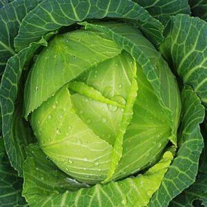 Cabbage Seeds Hybrid