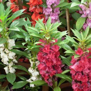 Balsam Bush flowere mixed