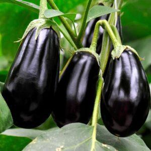 Brinjal Seeds Black