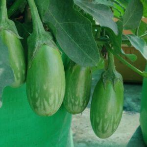 Brinjal Seeds Green Hybrid