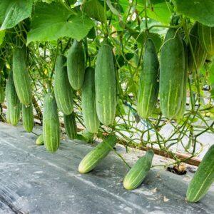 Cucumber (Kheera) Hybrid Seeds
