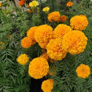 Marigold Seeds Orange Flower Seeds