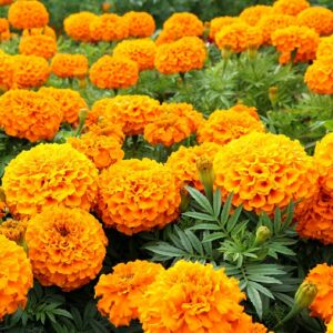 Marigold Orange Flower Seeds