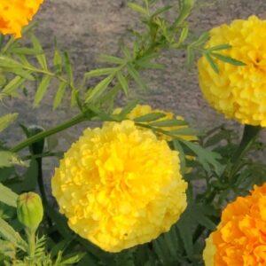 Marigold Seeds Yellow
