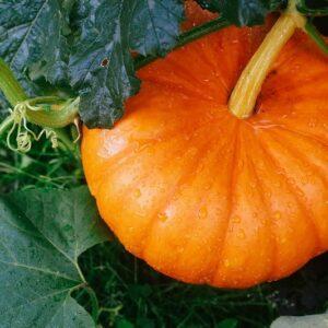 Pumpkin Seeds Hybrid