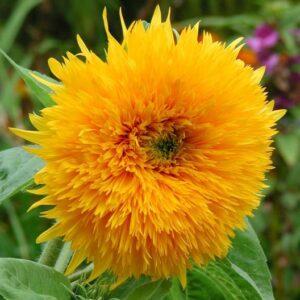 Sunflower Seeds Orange