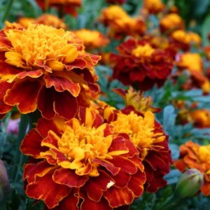 French Marigold Seeds