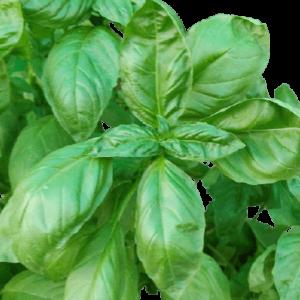 Italian Basil Large leaf