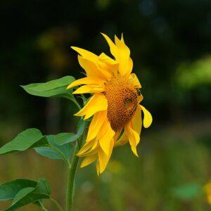 Sunflower Seeds Yellow