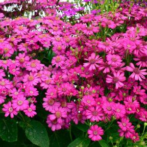 Cineraria Maritima Flowering