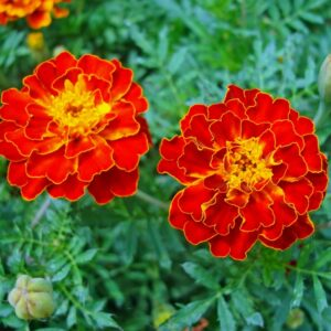 French Marigold Double Scarlet