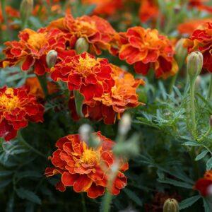 French Marigold Double Orange